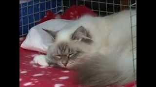 Международная выставка кошек. Смоленск