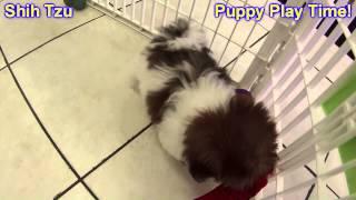 Shih Tzu, Puppies, For, Sale, In, Gresham, Oregon, County, Or, Multnomah, Washington, Clackamas, Lan