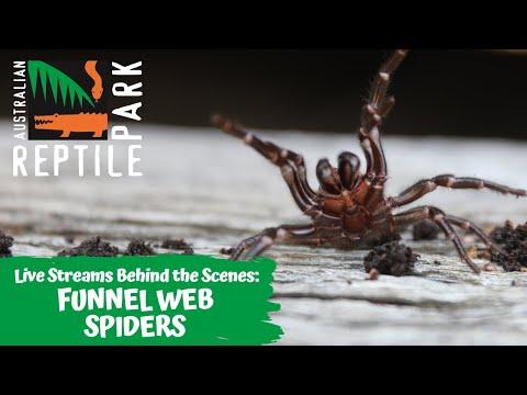 FUNNEL WEB SPIDER MILKING (LIVE FOOTAGE) | AUSTRALIAN REPTILE PARK