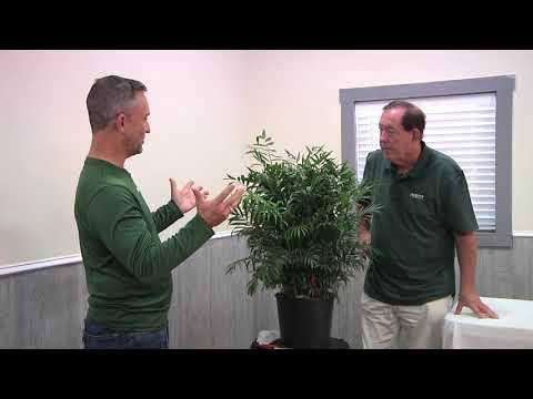 Plantz Palor Palm Tree