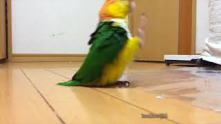 caique does a silly walk - looped