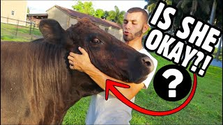 what-happened-to-my-pet-cow