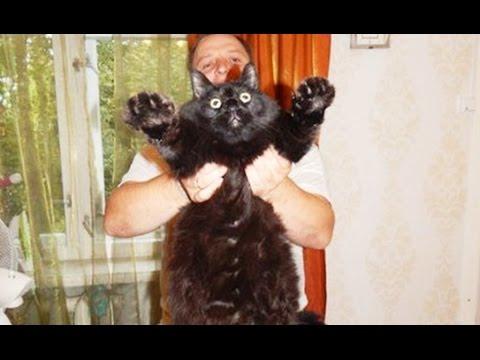 Взвешивание кота для Книги рекордов Гиннеса
