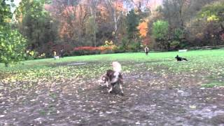 Tip How To Train Siberian Husky Off Leash