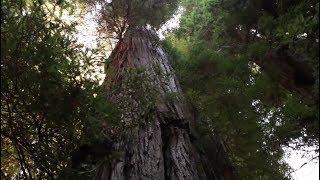 nos necesitamos los árboles secoya gigantes