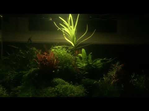 eichornia diversifolia 25 01 18 wide