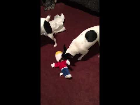 Toy Fox Terriers attack Mr. Bill thumbnail