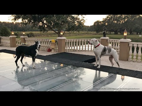 Funny Great Dane Complains About Dance Floor Pool Cover