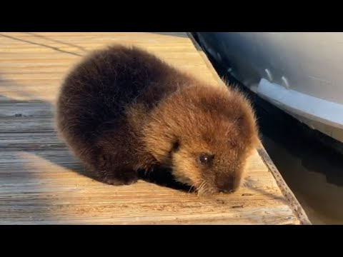 Baby Otter Rolls Down Wooden Dock to Its Mother - 1118915