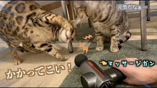 マッサージガンに立ち向かうもブルブルされてしまう猫