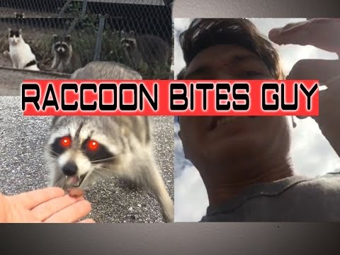 Raccoon Bites Man Feeding It