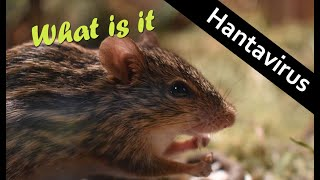 Hantavirus   What Is It ? Treatment And Prevention