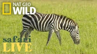 Safari Live - Day 83 | Nat Geo WILD thumbnail
