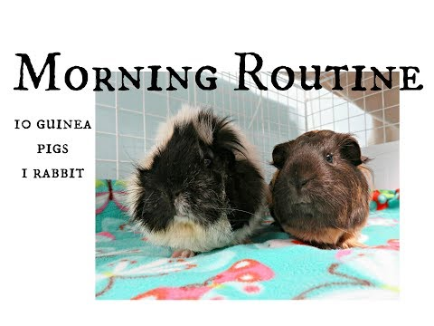 September Morning Routine: 10 Guinea Pigs & 1 Rabbit
