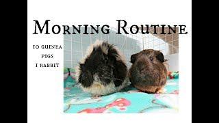 September Morning Routine: 10 Guinea Pigs & 1 Rabbit