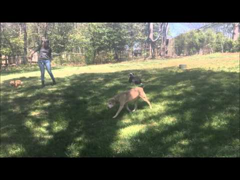 Pit Bull/Collie, Harley! Pit Bull Dog and Collie Dog Trainers | Virginia Dog Training