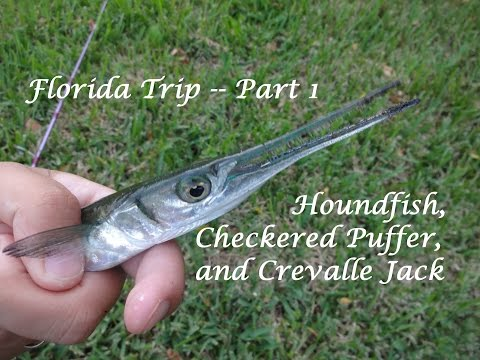 Florida Fishing Trip -- Part 1: Houndfish, Puffer, and Crevalle Jack (Fort Lauderdale, FL)