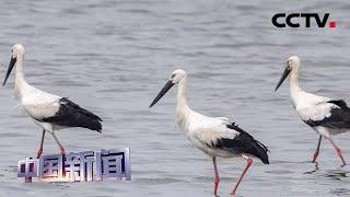 [中国新闻] 安徽铜陵:拍摄到东方白鹳清晰影像 | CCTV中文国际