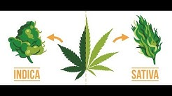 Indica vs Sativa?  Does it even matter?