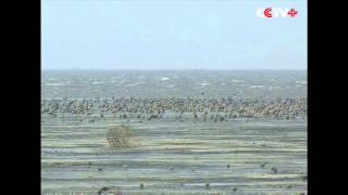 Colonies of Bar Tailed Godwits Arrive for Food during Migration in NE China