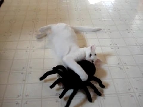 Smart cat playing with Toy spider !
