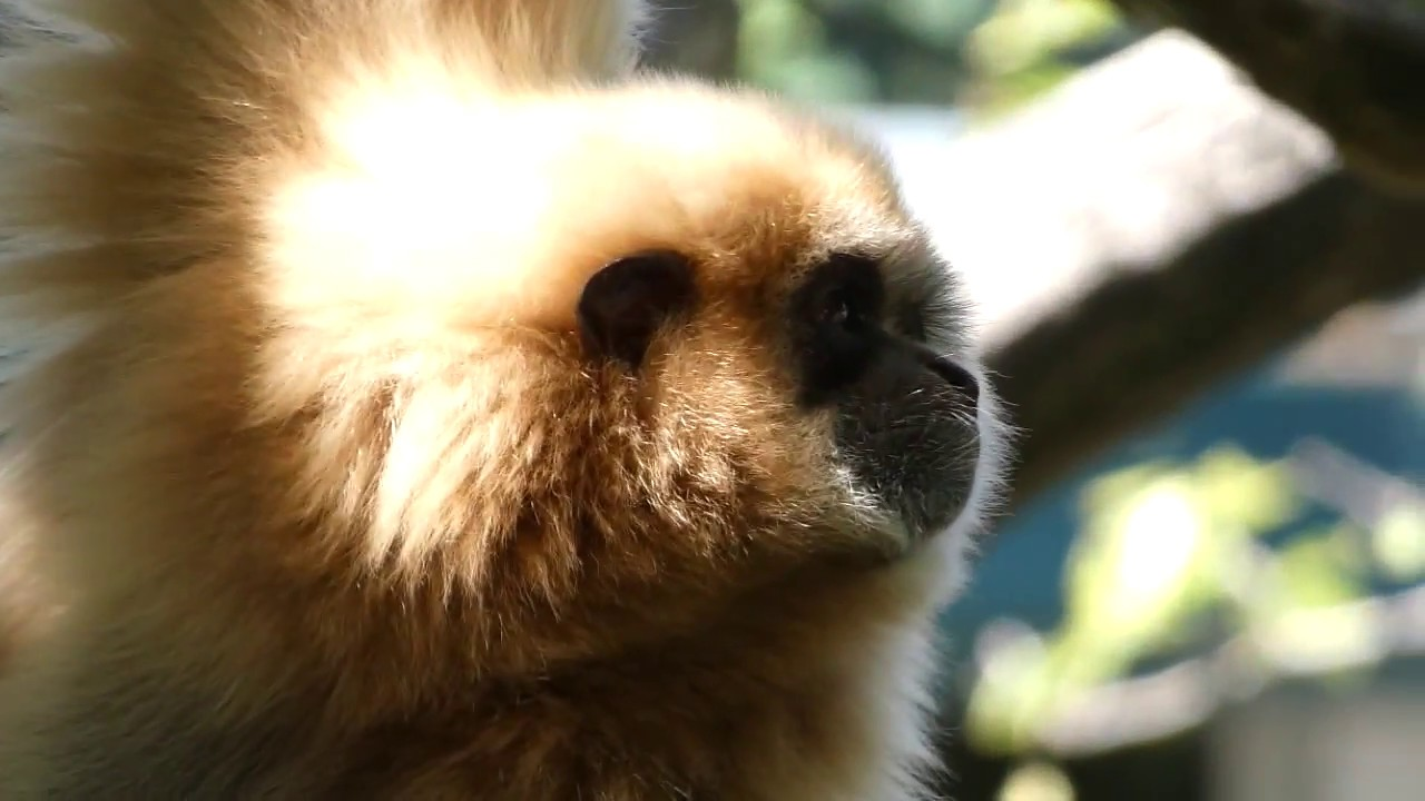 Gibbon – yelling ape – curious gibbon baby - YouTube