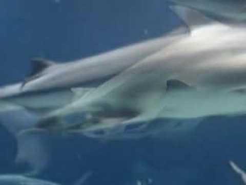 Great White Shark Reproduction   Shark Birth Youtube