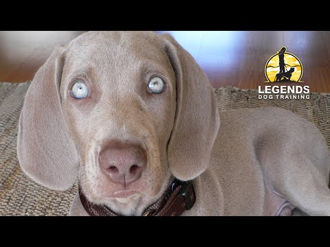 weimaraner-puppy:-hyper-excited,-impulsive