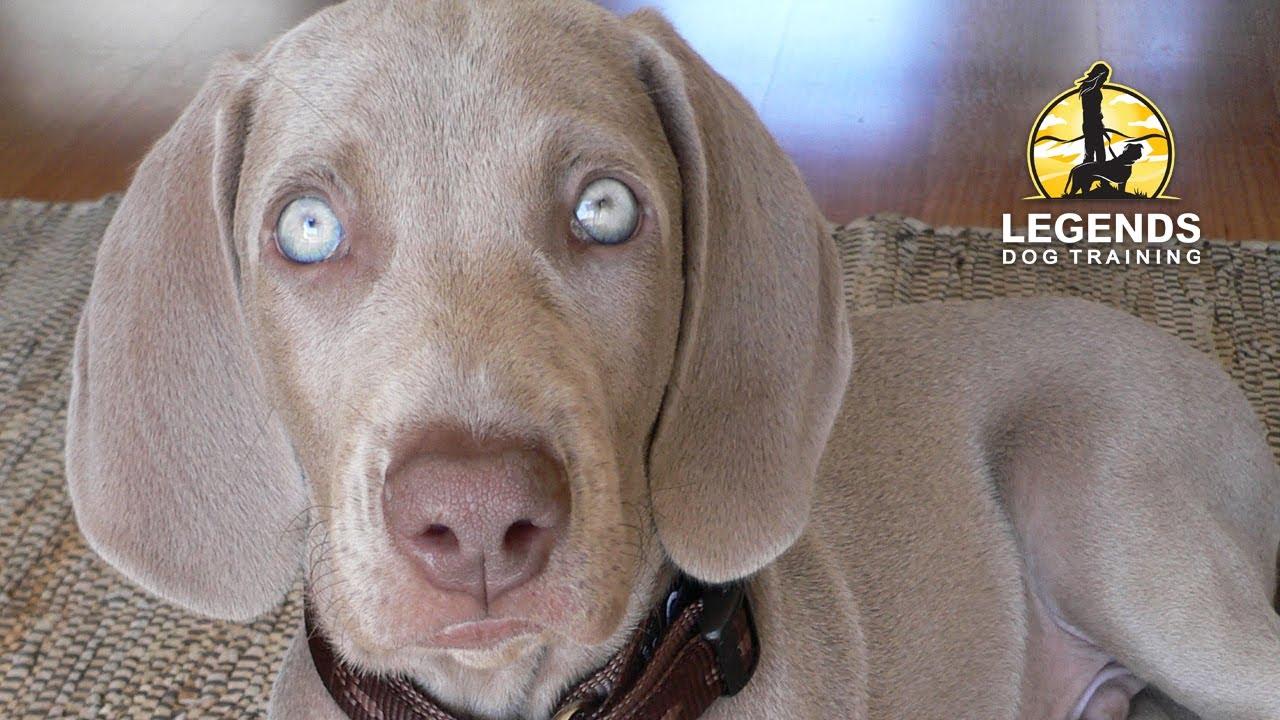 Weimaraner Puppy Hyper Excited Impulsive