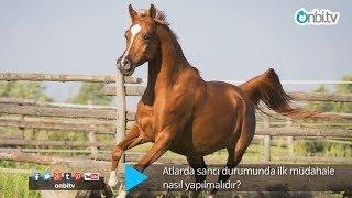 Atlarda Sancı Durumunda İlk Müdahale Nasıl Yapılmalıdır?