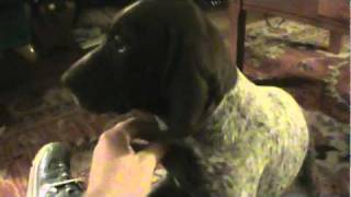 Last Liver Head Ticked Body Female German Shorthaired Pointer Left