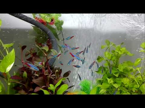 Neon Tetra With Goldfish