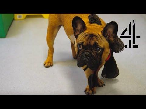 Bacus, the Dog, Struggles to Walk Again   The Supervet