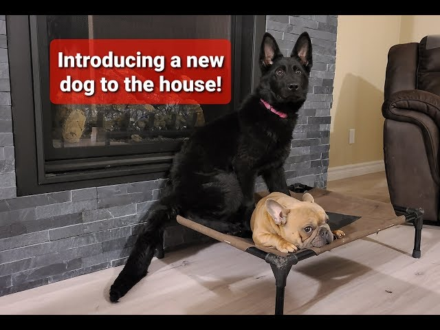 How to introduce a new dog to your house!