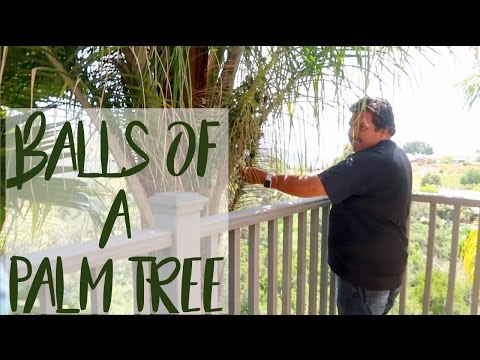 THE BALLS OF A PALM TREE | VALEYAS VLOGS