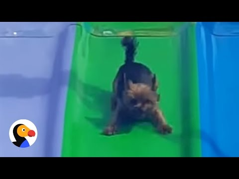 Temple - This Dog Really Loves The BIG Slide