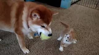Cute Shiba Inu and Kitten playing together