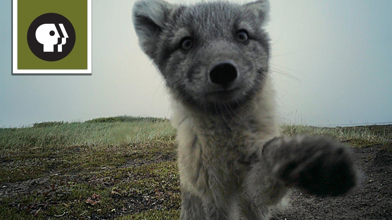 watch mischievous arctic fox