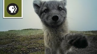 Arctic Foxes Destroy Filmmaker's Camera