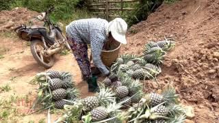 Ncig teb chaws Hmong txiav txiv puv luj
