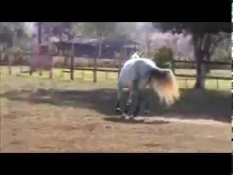 HORSE FOR SALE : J'ADORE  by Odanum - Laudanum x Roman x Landgraf