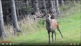 Hirschbrunft in Österreich, Giganten der Voralpen