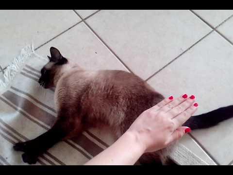 Siamese cat. Wtat siamese car really loves