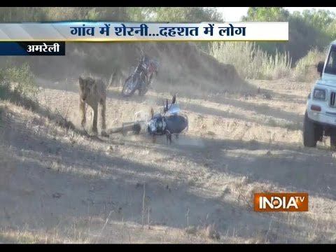 Gujarat: Lioness Enters in Amreli and Attack Motorbike Man