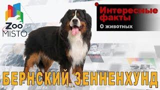 Бернский зенненхунд - Интересные факты о породе  | Собака породы бернский зенненхунд