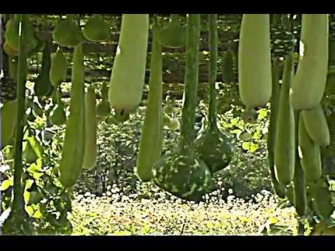 Zucca lunga lagenaria long gourd doovi for Cucinare zucchine trombetta