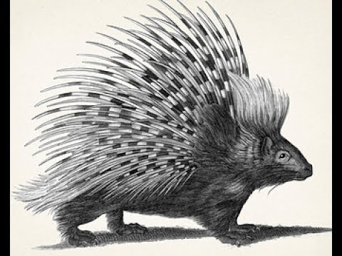 how to draw african porcupine pencil drawing step by step
