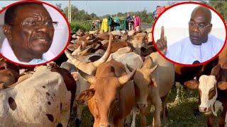 Magal Touba, Arrivée des 3000 Bœufs de Serigne Saliou Thione à...