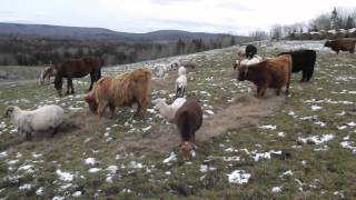 Livestock Guardian Dogs returning from patrol with puppies. - Old Man Farm