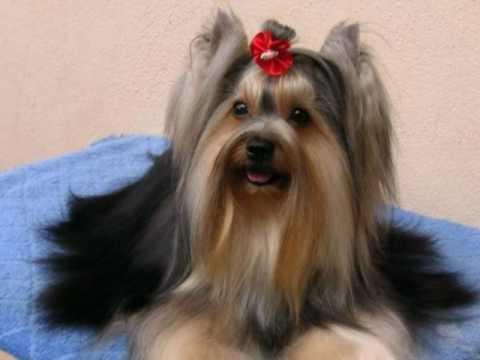 Yorkshire Terrier – Yorkie!!!